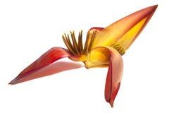 λουλούδι μπανανών στοκ φωτογραφία με δικαίωμα ελεύθερης χρήσης