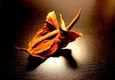 Λουλούδι νεκρό λουλούδι Anthurium Το ξηρό λουλούδι Στοκ Εικόνες