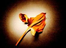 Λουλούδι νεκρό λουλούδι Anthurium Το ξηρό λουλούδι Στοκ εικόνα με δικαίωμα ελεύθερης χρήσης