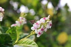 Λουλούδι νησιών πεταλούδων στοκ εικόνες