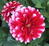 Λουλούδι νταλιών στοκ εικόνα με δικαίωμα ελεύθερης χρήσης