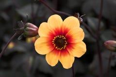λουλούδι νταλιών κίτριν&omicron στοκ εικόνες