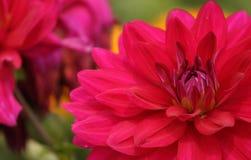 Λουλούδι νταλιών σε έναν κήπο Στοκ φωτογραφία με δικαίωμα ελεύθερης χρήσης