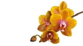 Λουλούδι ορχιδεών που ανθίζει στο άσπρο υπόβαθρο απόθεμα βίντεο
