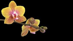Λουλούδι ορχιδεών που ανθίζει στο μαύρο υπόβαθρο απόθεμα βίντεο