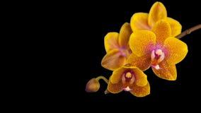 Λουλούδι ορχιδεών που ανθίζει στο μαύρο υπόβαθρο φιλμ μικρού μήκους