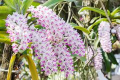 Λουλούδι ορχιδεών στον κήπο ορχιδεών στην ημέρα χειμώνα ή άνοιξης για την ομορφιά καρτών και το σχέδιο έννοιας ιδέας γεωργίας Στοκ Φωτογραφίες