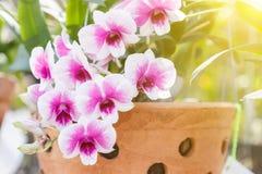 Λουλούδι ορχιδεών στον κήπο ορχιδεών στην ημέρα χειμώνα ή άνοιξης για την ομορφιά καρτών και το σχέδιο έννοιας ιδέας γεωργίας Στοκ Εικόνες