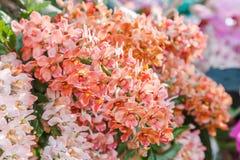 Λουλούδι ορχιδεών στον κήπο ορχιδεών στην ημέρα χειμώνα ή άνοιξης για την ομορφιά καρτών και το σχέδιο έννοιας ιδέας γεωργίας Στοκ Εικόνα