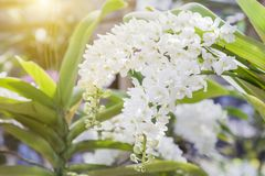Λουλούδι ορχιδεών στον κήπο ορχιδεών στην ημέρα χειμώνα ή άνοιξης για την ομορφιά καρτών και το σχέδιο έννοιας ιδέας γεωργίας Στοκ φωτογραφίες με δικαίωμα ελεύθερης χρήσης