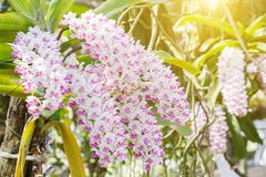 Λουλούδι ορχιδεών στον κήπο ορχιδεών στην ημέρα χειμώνα ή άνοιξης για την ομορφιά καρτών και το σχέδιο έννοιας ιδέας γεωργίας Στοκ Φωτογραφία
