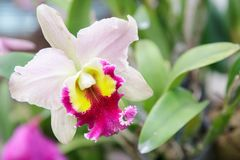 Λουλούδι ορχιδεών στον κήπο στην ημέρα χειμώνα ή άνοιξης για την ομορφιά καρτών και το σχέδιο έννοιας ιδέας γεωργίας Στοκ Εικόνες