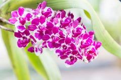 Λουλούδι ορχιδεών στον κήπο στην ημέρα χειμώνα ή άνοιξης για την ομορφιά καρτών και το σχέδιο έννοιας ιδέας γεωργίας Στοκ φωτογραφίες με δικαίωμα ελεύθερης χρήσης