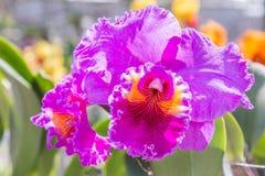 Λουλούδι ορχιδεών στον κήπο στην ημέρα χειμώνα ή άνοιξης για την ομορφιά καρτών και το σχέδιο έννοιας ιδέας γεωργίας Στοκ Φωτογραφίες