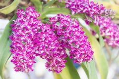 Λουλούδι ορχιδεών στον κήπο στην ημέρα χειμώνα ή άνοιξης για την ομορφιά καρτών και το σχέδιο έννοιας ιδέας γεωργίας Στοκ εικόνες με δικαίωμα ελεύθερης χρήσης