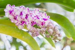 Λουλούδι ορχιδεών στον κήπο ορχιδεών στην ημέρα χειμώνα ή άνοιξης για την ομορφιά καρτών και το σχέδιο έννοιας ιδέας γεωργίας Στοκ φωτογραφία με δικαίωμα ελεύθερης χρήσης