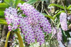 Λουλούδι ορχιδεών στον κήπο στην ημέρα χειμώνα ή άνοιξης για την ομορφιά καρτών και το σχέδιο έννοιας ιδέας γεωργίας Στοκ φωτογραφία με δικαίωμα ελεύθερης χρήσης