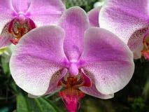 Λουλούδι ορχιδεών στον κήπο στην ημέρα χειμώνα ή άνοιξης για την ομορφιά καρτών και το σχέδιο έννοιας ιδέας γεωργίας στοκ εικόνα με δικαίωμα ελεύθερης χρήσης
