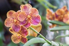 Λουλούδι ορχιδεών στον κήπο ορχιδεών στην ημέρα χειμώνα ή άνοιξης για το σχέδιο έννοιας ομορφιάς και γεωργίας Ορχιδέα της Vanda στοκ φωτογραφίες με δικαίωμα ελεύθερης χρήσης