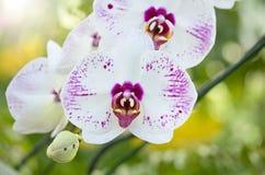 Λουλούδι ορχιδεών Phalaenopsis Στοκ εικόνα με δικαίωμα ελεύθερης χρήσης