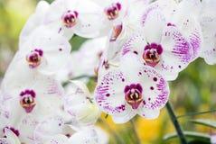 Λουλούδι ορχιδεών Phalaenopsis Στοκ Φωτογραφίες