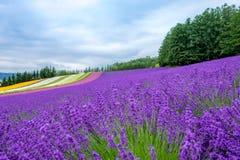 Λουλούδι ουράνιων τόξων lavander, ζωηρόχρωμος τομέας λουλουδιών και μπλε sky στοκ εικόνες