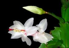 λουλούδι οφθαλμών Στοκ Φωτογραφία
