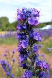 Λουλούδι οχιάς bugloss στο θολωμένο κλίμα στοκ εικόνα με δικαίωμα ελεύθερης χρήσης