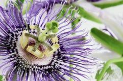 Λουλούδι παθών στοκ φωτογραφία