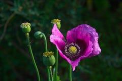 Λουλούδι παπαρουνών οπίου στοκ φωτογραφία με δικαίωμα ελεύθερης χρήσης