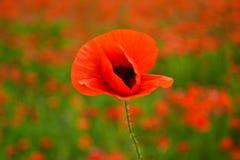 Λουλούδι παπαρουνών στον τομέα, συγκομιδή στοκ φωτογραφία με δικαίωμα ελεύθερης χρήσης