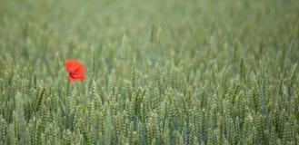 Λουλούδι παπαρουνών. Στοκ Φωτογραφίες