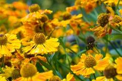 λουλούδι πεδίων μαργαρ&iot Στοκ Φωτογραφίες