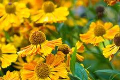 λουλούδι πεδίων μαργαρ&iot Στοκ φωτογραφία με δικαίωμα ελεύθερης χρήσης