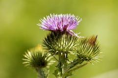λουλούδι πεδίων Στοκ εικόνες με δικαίωμα ελεύθερης χρήσης