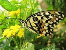 λουλούδι πεταλούδων κί&t Στοκ εικόνες με δικαίωμα ελεύθερης χρήσης