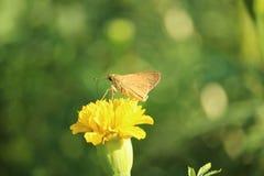 Λουλούδι πεταλούδων και Marigold Στοκ φωτογραφίες με δικαίωμα ελεύθερης χρήσης