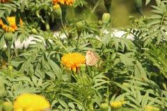Λουλούδι πεταλούδων και Marigold Στοκ Φωτογραφία