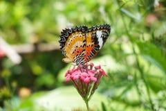 Λουλούδι πεταλούδων στον κήπο φύσης Στοκ Εικόνες