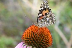 Λουλούδι 2 πεταλούδων Στοκ Φωτογραφία
