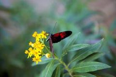 λουλούδι πεταλούδων Στοκ Εικόνα