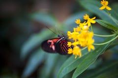 λουλούδι πεταλούδων Στοκ Φωτογραφίες