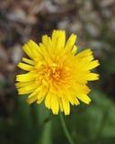 λουλούδι πικραλίδων άνθ&io Στοκ εικόνες με δικαίωμα ελεύθερης χρήσης