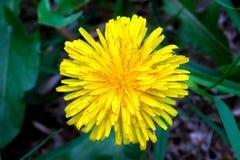 Λουλούδι πικραλίδων από την κορυφή στοκ φωτογραφία