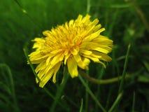 Λουλούδι πικραλίδων στη χλόη Στοκ εικόνες με δικαίωμα ελεύθερης χρήσης