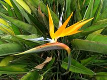 Λουλούδι πουλιών του παραδείσου σε έναν κήπο στην Κούβα Στοκ εικόνες με δικαίωμα ελεύθερης χρήσης