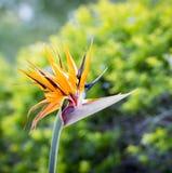 Λουλούδι πουλιών του παραδείσου Στοκ Φωτογραφία