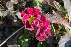 Λουλούδι, που ακμάζουν την πρώιμη άνοιξη Στοκ εικόνες με δικαίωμα ελεύθερης χρήσης