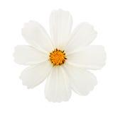 Λουλούδι που απομονώνεται άσπρο στοκ φωτογραφία με δικαίωμα ελεύθερης χρήσης
