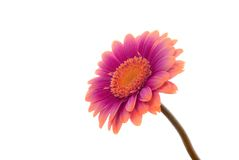 λουλούδι που απομονώνεται Στοκ Εικόνες